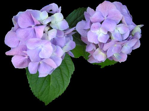mauve flowers cut