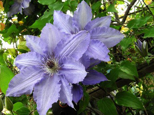 mauve climbing flower