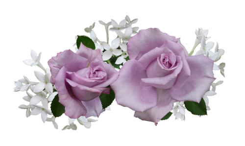 mauve rose with