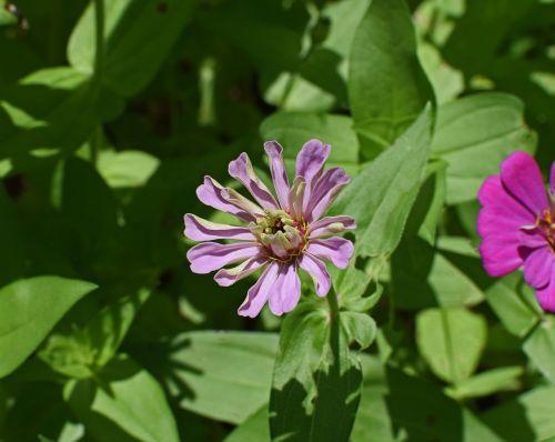mauve-pink zinnia opening flower blossom