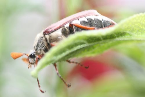 may maikäfer insect