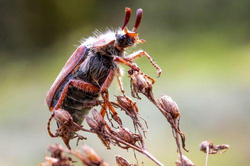 may bug beetle animal insect