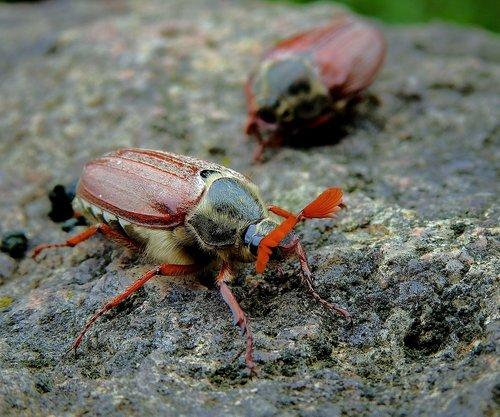 maybug  insect  the beetle