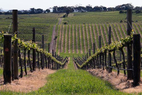 mclaren vale wine vine