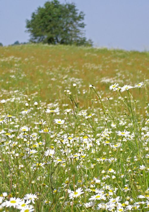 meadow camomile spring