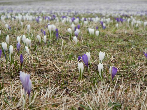 meadow flowers crocus