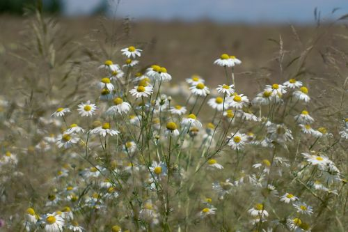 meadow camomile wildflowers
