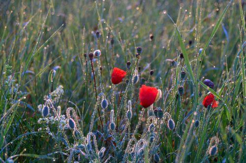 meadow poppies dawn