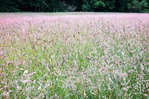 meadow grass grasses