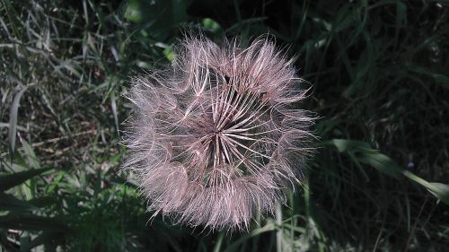 meadow dandelion the delicacy