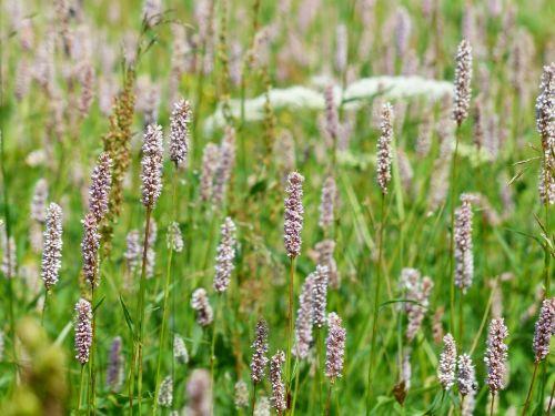 meadow snakes knotweed bistorta officinalis