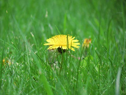 meadow buttercup flower
