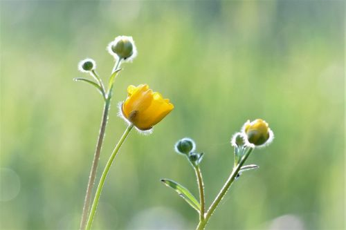 meadow buttercup yellow