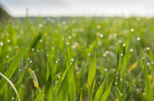 meadow,field,barley,wheat,nature,green,summer,grass,nature conservation,out,morgentau,drop of water,grasses,nature reserve,flat,nature recording,grow