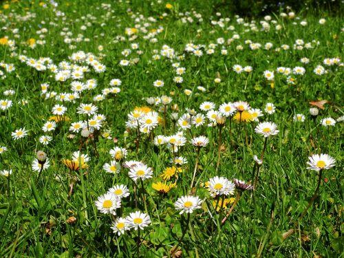 meadow flower meadow daisy