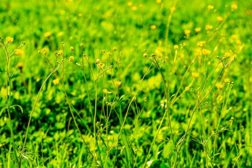 meadow yellow flowers green