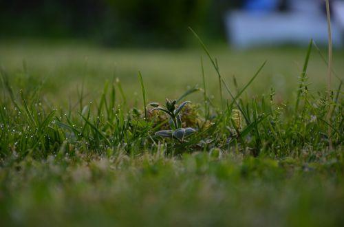 meadow rung dew
