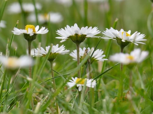meadow,daisy,spring,flowers,nature,green,flower meadow,white,grass,wildflowers