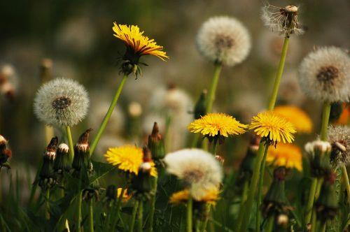 meadow nature dandelions
