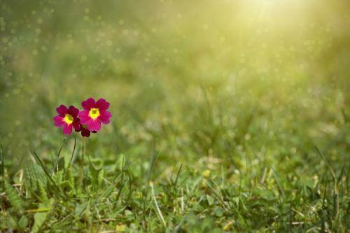meadow meadow primrose primrose