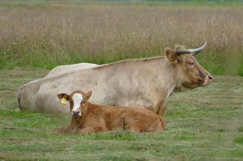 meadow cattle ruminant