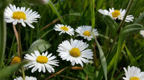 meadow daisy flowers