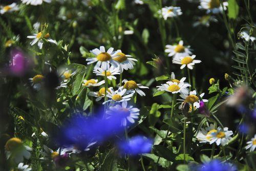 meadow wild flowers plant