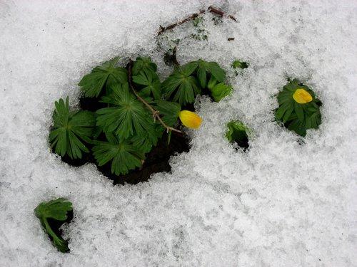 meadow  plant  snow