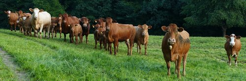meadow  cows  expectation