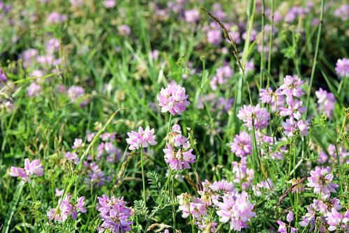 meadow  flower meadow  nature