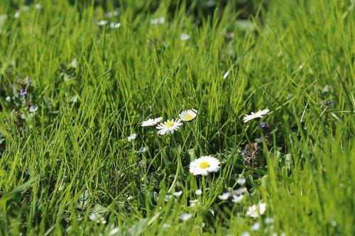 meadow  grass  flowers