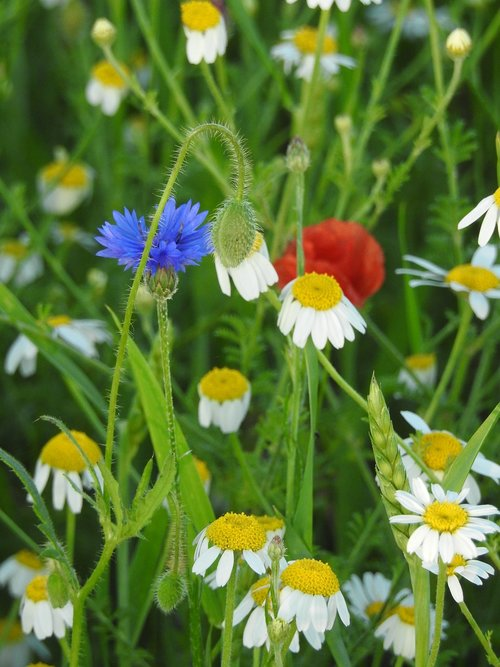 meadow  chamomile  cornflower