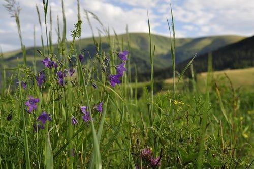 meadow  the carpathians  field