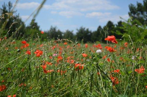 meadow  spring  flower