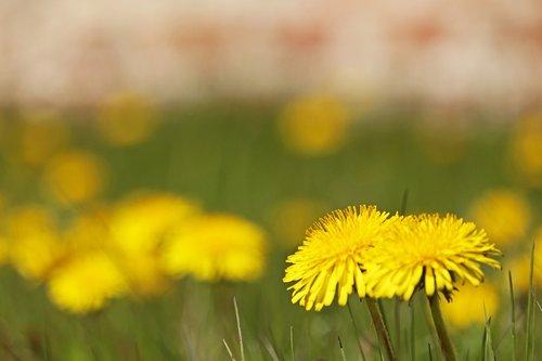 meadow  dandelion  nature