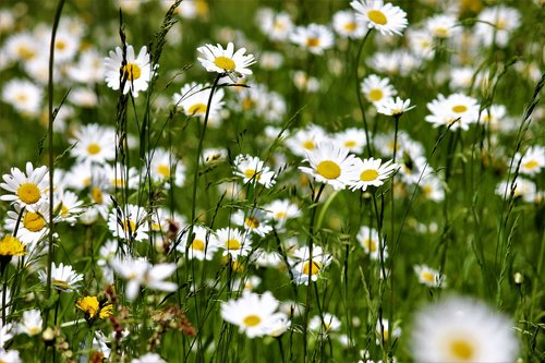 meadow  daisies flowers  nature
