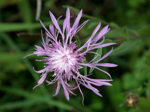 meadow purple flower