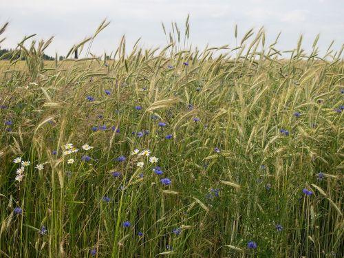 meadow corn field