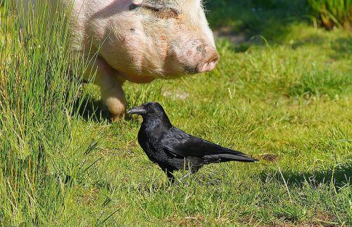 meadow pig food