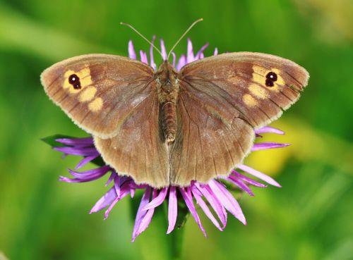 meadow brown butterfly butterflies