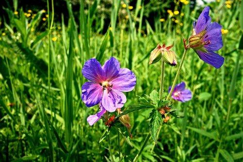 meadow cranesbill  meadow geranium  geranium