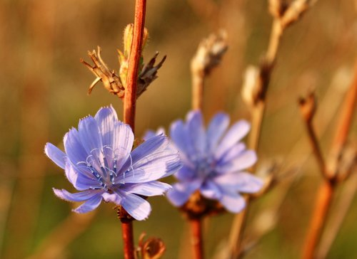 meadow cranesbill  flower  blossom