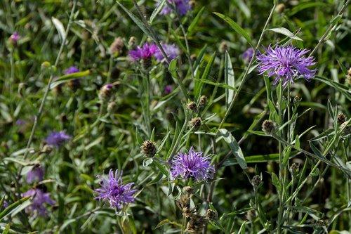 meadow knapweed  flower  plant