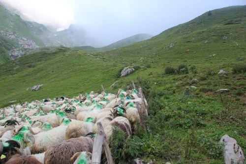 meadows herd sheep