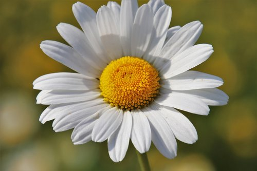 meadows  camomile  the smell of