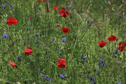 meadows  poppies  cornflowers