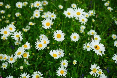 meadows daisies flowers leucanthemum vulgare