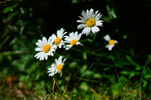 meadows margerite daisies flowers
