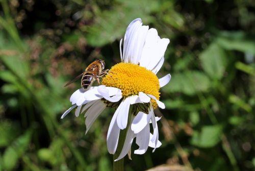 meadows margerite leucanthemum vulgare daisy family