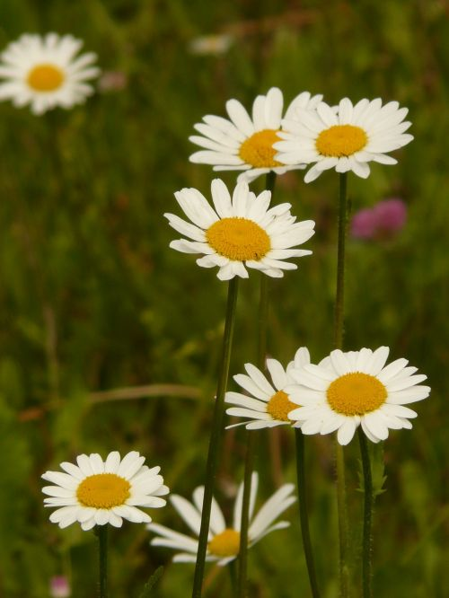 meadows margerite meadow margerite paid feverfew